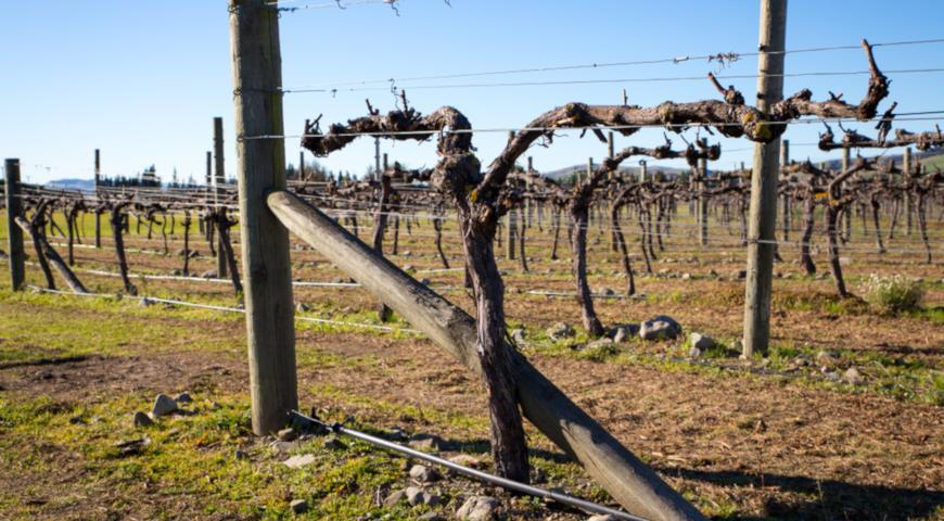 как обрезать неукрывной виноград на зиму