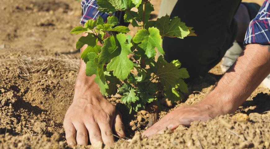 можно ли пересаживать виноград осенью видео