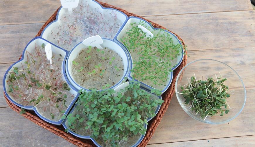 Выращивание микрозелени в гидрогеле