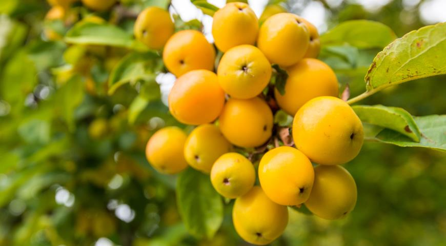Лучший сорт яблонь: посадка и уход
