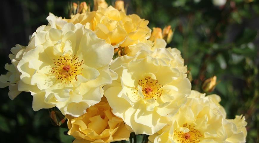 Goldspatz роза
