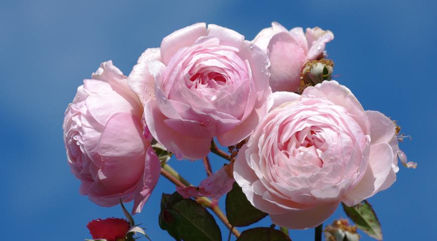 A Shropshire Lad роза