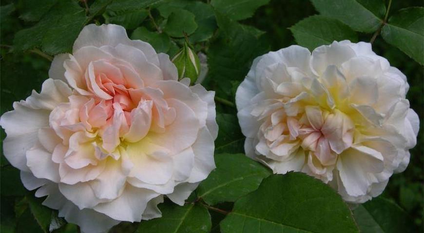 Mary Magdalene роза