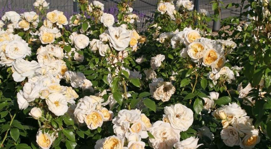 Kosmos роза