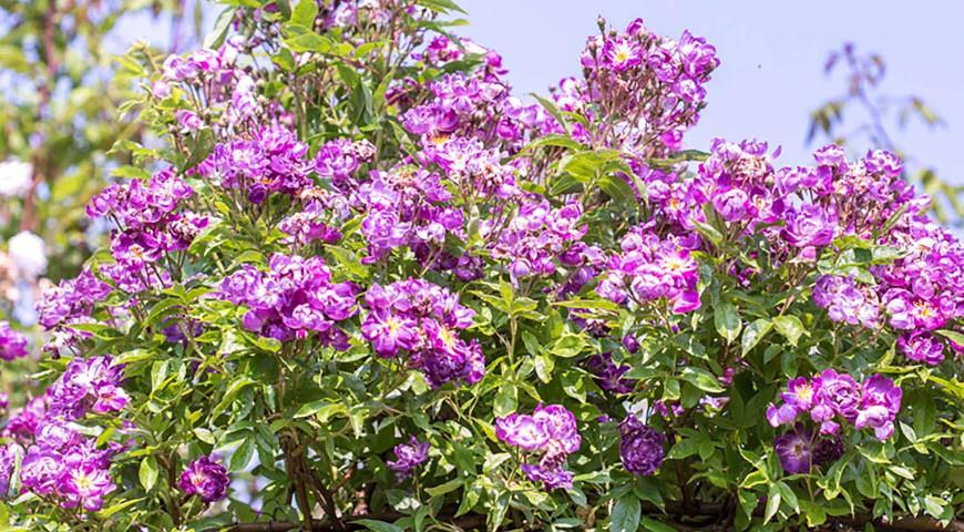 Veilchenblau роза