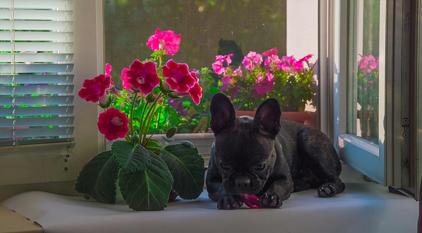 Глоксиния (фото цветов) - советы, секреты, рекомендации