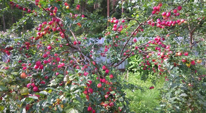 Дерево алычи гибридной