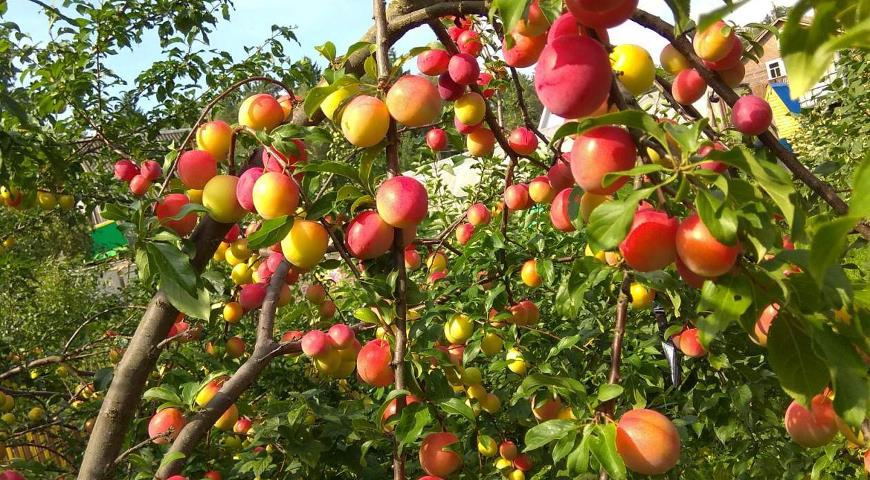 Алыча гибридная плоды