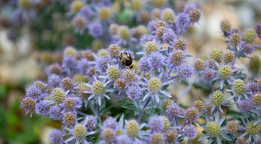 Синие цветы: какие растения можно посадить в синий цветник? ТОП-25 цветов синего цвета