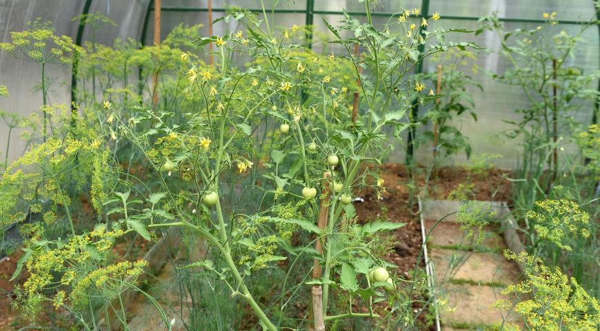 Все секреты выращивания томатов и огурцов в теплицах