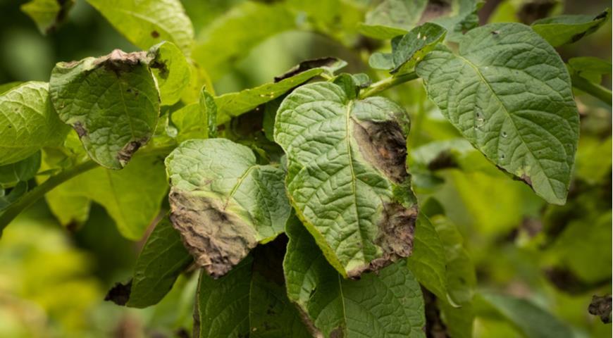 фитофтора, фитофтороз картофеля