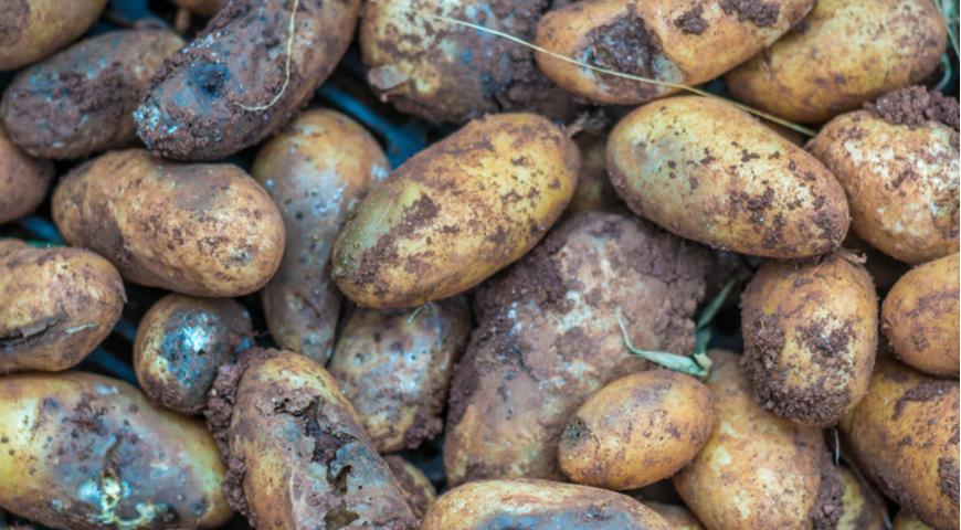 фитофтороз, фитофтора на клубнях картофеля