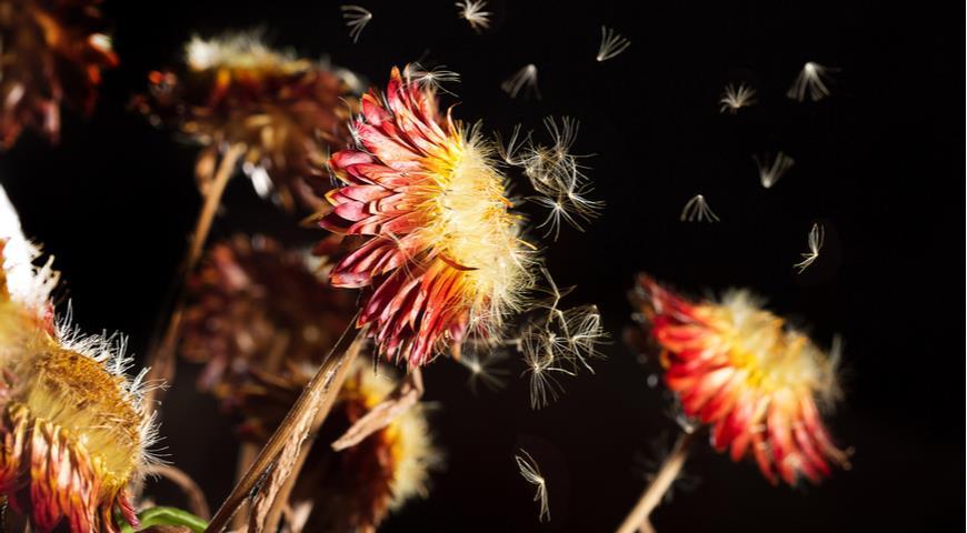 гелихризум, семена