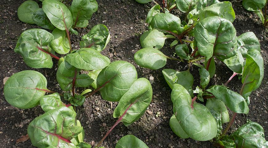Какие овощи можно сажать в июле?