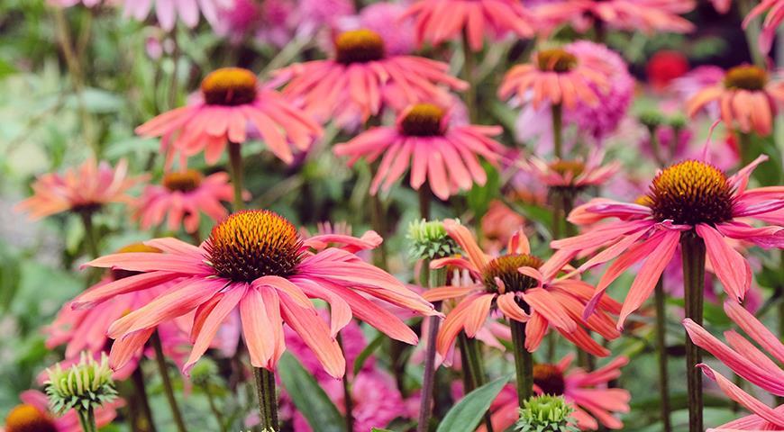 Ехінацея – популярна рослина для вашого квітника: сорти з фото і всі секрети вирощування
