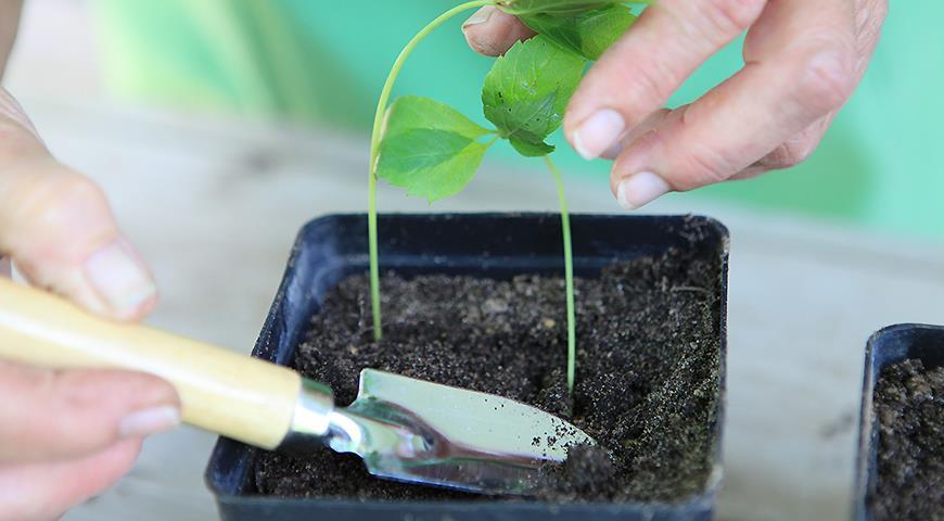 Розмноження дівочого винограду живцями: немає нічого простіше!