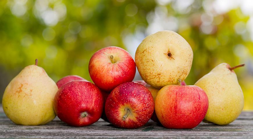 Урожай яблок и груш в августе в саду