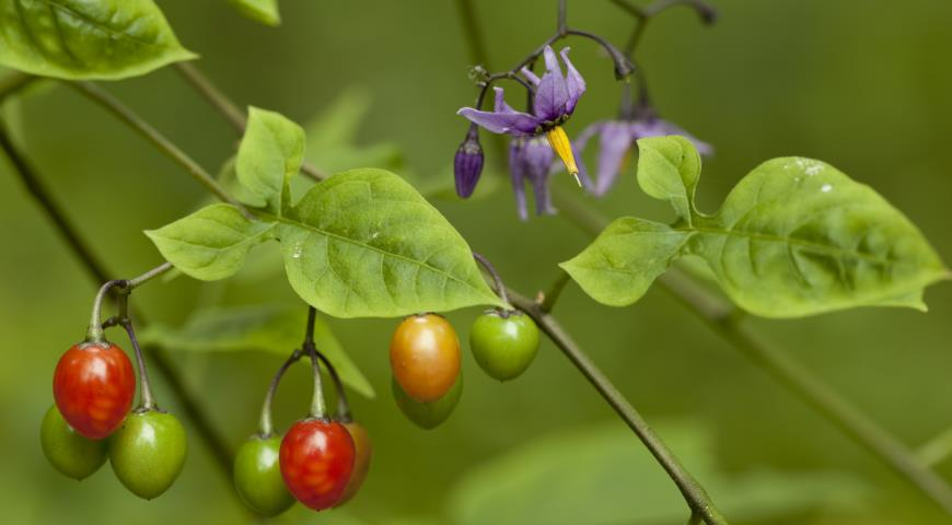 Паслен плоды