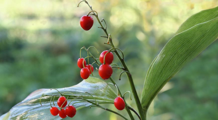 Ландыш плоды