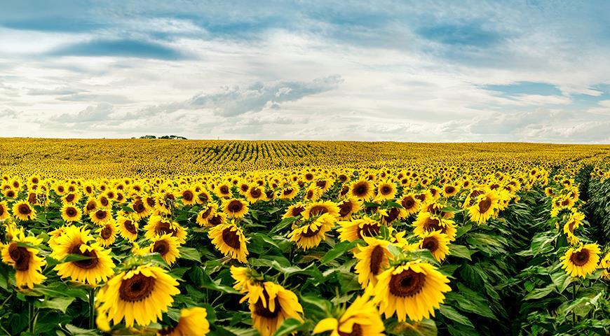 Цветочный гороскоп на 03-12 августа: ваш цветок – подсолнух!