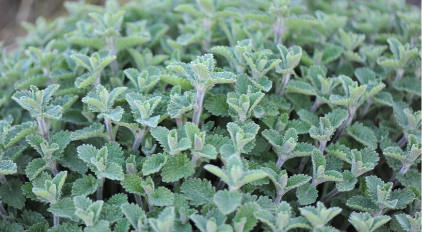 Листья котовника Фассена Garden catmint (Nepeta faassenii) Six Hills Giant