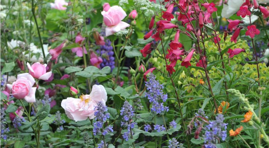 Котовник, пенстемон и розы
