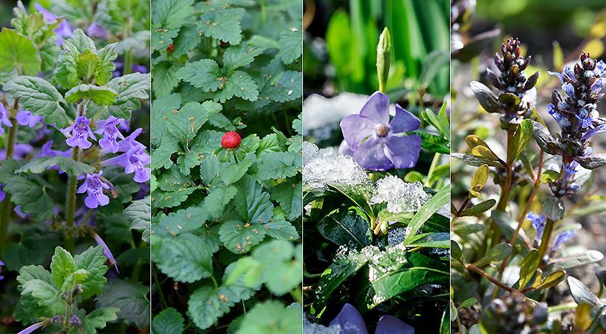 X почвопокровных теневых растений, которые можно посадить под деревьями и кустарниками вместо газона