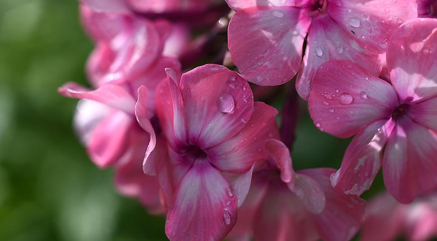 Именной сад: сорта цветочных и садовых культур с именем Ольга
