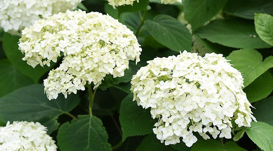 10 самых красивых гортензий для вашего сада