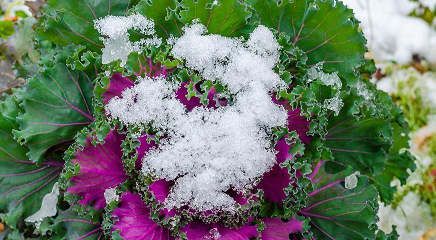 Декоративная капуста: лучшие сорта и выращивание