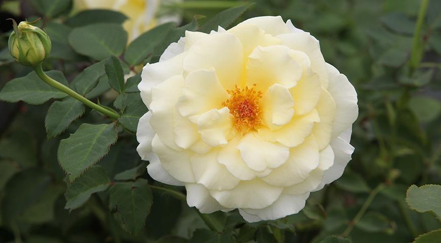 Именной сад: сорта цветочных и садовых культур с именем Елена, Лена или Алена
