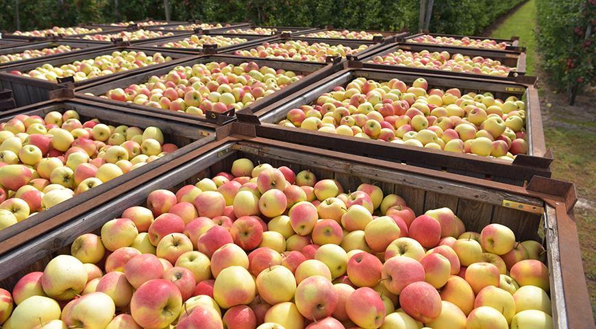 Как сохранить урожай яблок до Нового года?