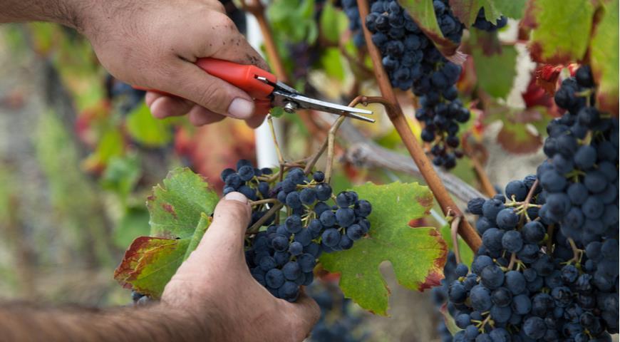 Главные секреты успешной зимовки винограда