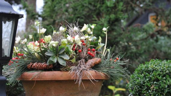 Цветущие комнатные растения к Новому году и Рождеству