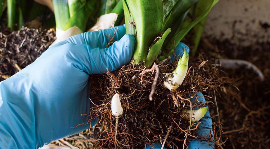 Сансевьера, щучий хвост или тещин язык – самое неубиваемое растение для вашего дома