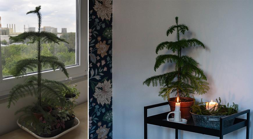 Араукария — комнатная елка, самая долговечная и ЭКОлогичная замена новогодней елки