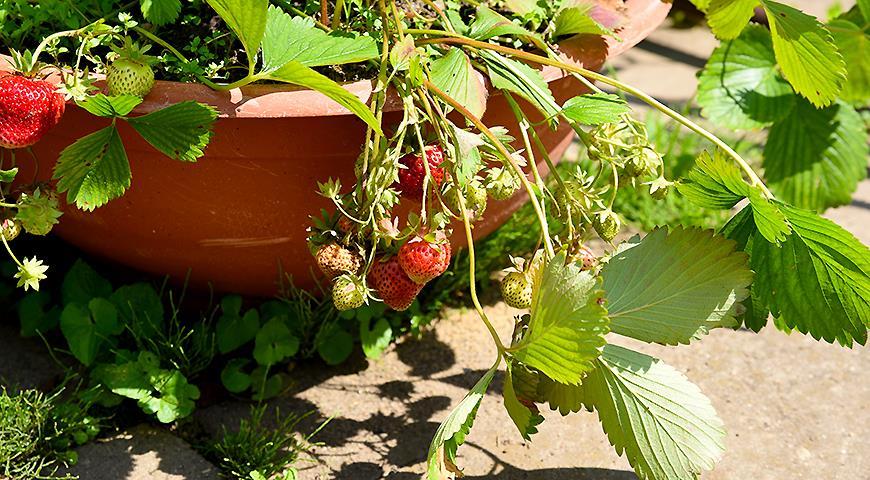 Секреты выращивания садовой клубники в кашпо: как получить ранний урожай ягод