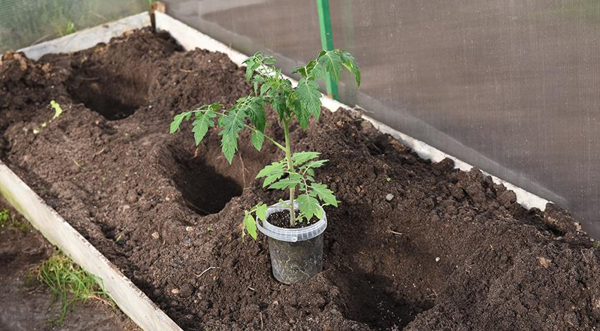 Когда сажать помидоры на рассаду в 2021 году + благоприятные дни