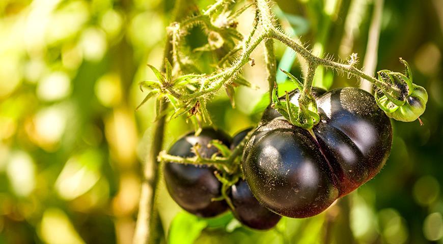 Черный томат: лучшие сорта и гибриды черных помидор для посадки в теплицу