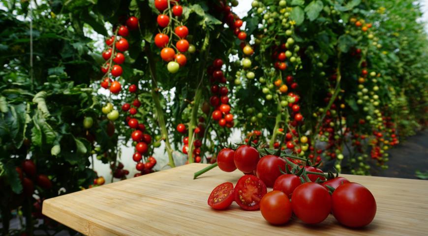 сибирские томаты, Бычий глаз