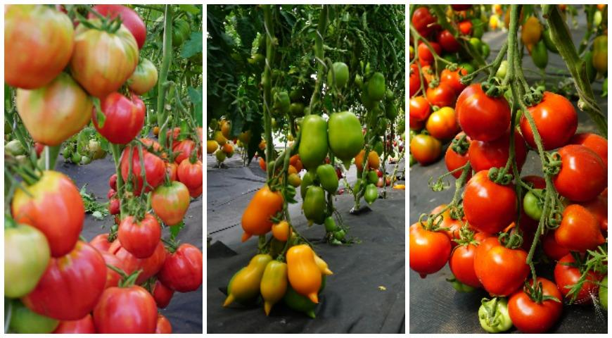 сибирские томаты