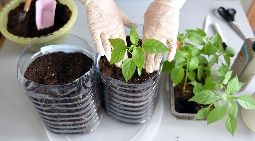 Как подкармливать рассаду перца весной