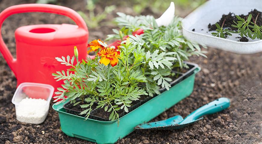 Все о том, как вырастить бархатцы самому: мастер-класс Ирины Поповой от посева семян до цветения