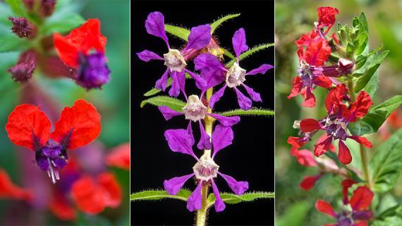 Однолетние виды куфеи: выбираем для посадки в цветник