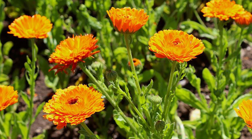 Ноготки, или календула – красивый, неприхотливый летник для вашего цветника