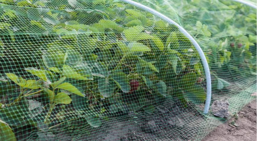 защита садовой земляники от птиц