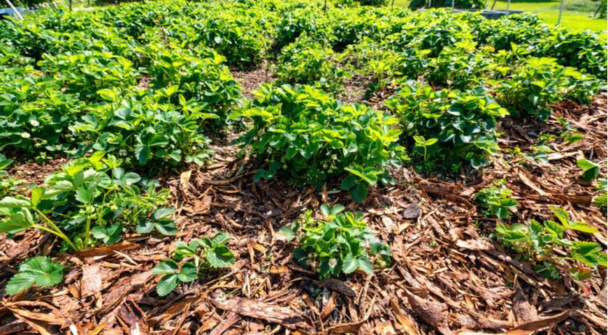 мульчирование садовой земляники