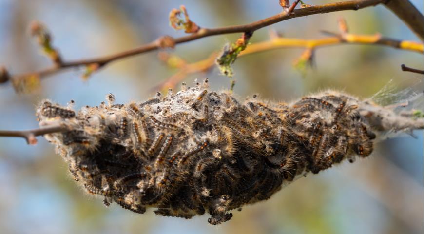 гусеницы золотистого шелкопряда