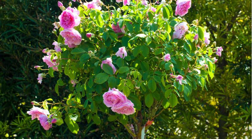 роза Harlow Carr, штамбовая