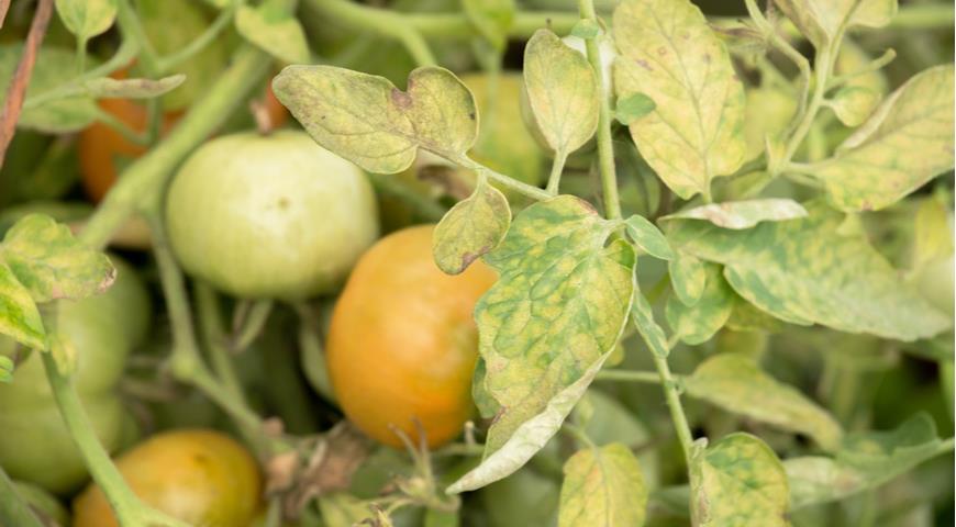 нехватка азота у томатов